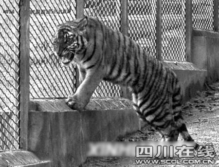 上海动物园老虎咬死饲养员